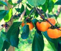 Kaki planta arbol de persimo, planta kaki fruta en Ecuador