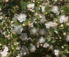 Plantas de mirto, venta de los arbustos ornamentales