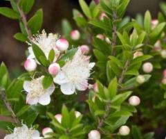 Plantas de mirto, plantas decorativas arbustos flores