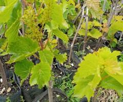 Plantas de uvas verdes, lianas vids