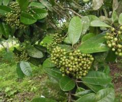 Plantas de la pimienta dulce, para jardin o terreno