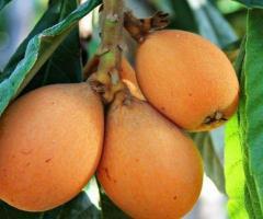 Plantas de nispero japones, viveros frutales