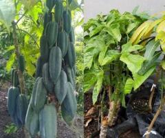 Plantas de babaco, plantas frutales pequeñas