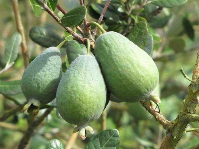 Plantas de feijoa, arboles frutales para jardin