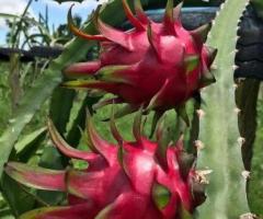 Plantas de la pitahaya roja, árboles frutales para patios pequeños