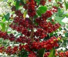 Plantas de cafe, comprar frutales para jardin