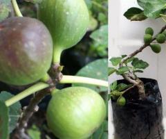 Plantas de breva, árboles frutales viveros