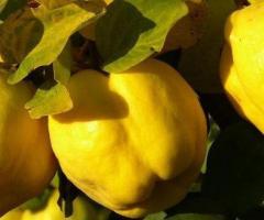 Arbol de membrillo, venta de las plantas exoticas