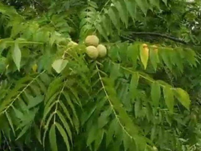 Plantas de nogal, arboles de nueces, arboles frutales de clima frio