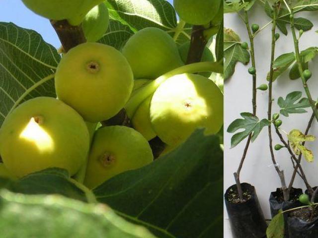 Plantas del higo blanco, viveros de frutales
