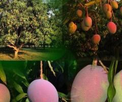 Plantas de mango, arboles frutales tropicales