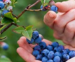 Plantas del arandano azul, para jardin con arboles frutales