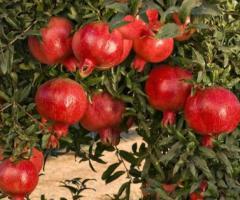 Plantas de granada, viveros de árboles frutales