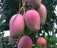Plantas de mango, arboles de frutas, viveros frutales Ecuador