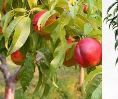 Plantas de nectarina, frutales tropicales, arboles frutales para jardin