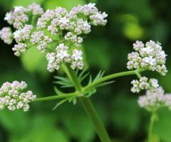 Plantas de valeriana, las hierbas medicinales