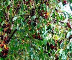 Plantas de capuli, comprar frutales, viveros de frutales cerezo frutal