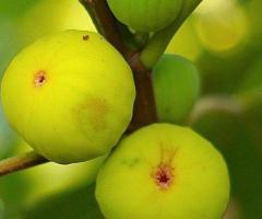 Plantas de higo blanco, arboles frutales para clima frio