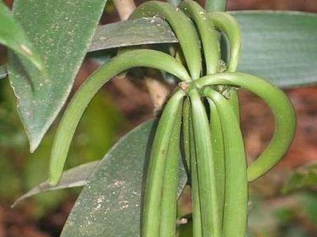 Plantas de vainilla, lianas vid decorativas, flores y frutas