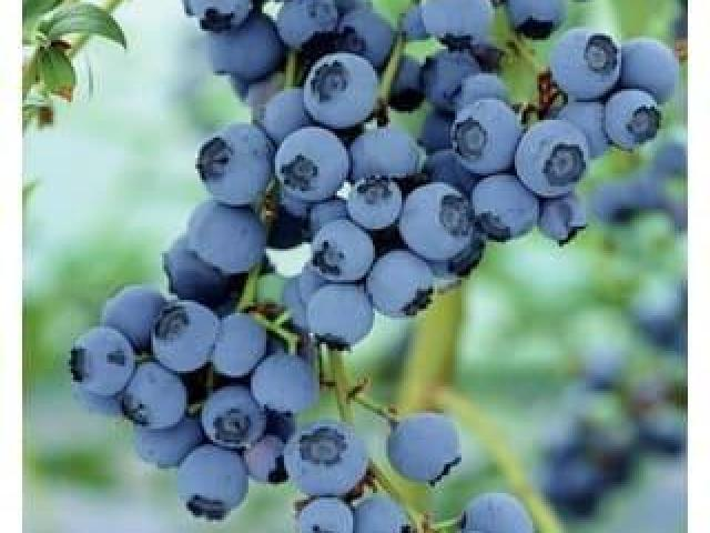 Plantas arbustos de arandano azul, arboles frutales para clima frio