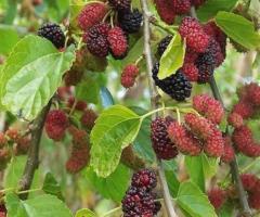 Plantas del arbol de mora, árboles frutales resistentes al frío y calor