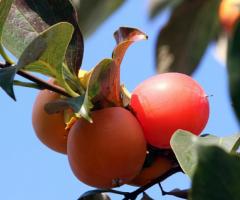 Plantas de caqui para todo Ecuador, arboles frutales exoticos
