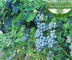Arandano o blueberry, las plantas exoticas para jardin y maceta