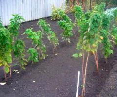 Frambuesa roja, plantas de las frambuesas, plantas de exterior para jardin