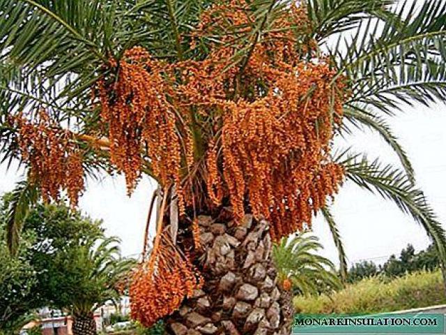 Palmera datilera, venta de plantas de datiles, plantas ornamentales de Ecuador