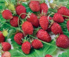 Frutilla alpina roja, venta de todos tipos de plantas en el Ecuador