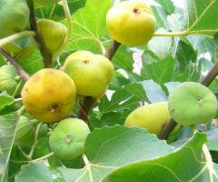 Ventas de las plantas de higo blanco, plantas de la sierra de Ecuador