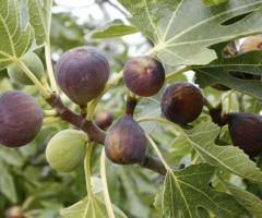 Breva, los arboles frutales, plantas que existen en el Ecuador