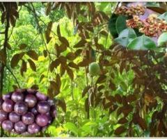 Caimito morado, plantas tropicales, árboles frutales de crecimiento rápido