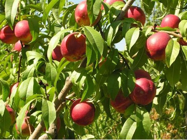 Durazno, viveros frutales, arboles frutales para jardin