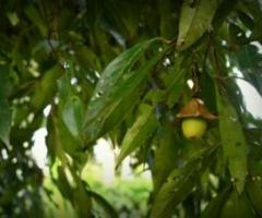 Ishpingo o canela amazonica, plantas tropicales