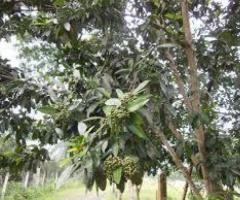 Pimienta dulce, plantas exoticas en el vivero