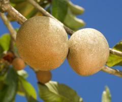 Plantas de zapote ecuatoriano, arboles frutales tropicales