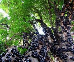 Arbol de jabuticaba, plantas tropicales para costa y oriente de Ecuador