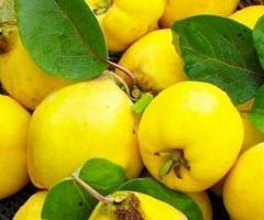 Planta de membrillo, arboles de la sierra de Ecuador