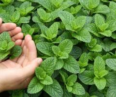 Menta en Ecuador, venta de las plantas aromaticas