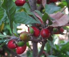 Plantas de fruta milagrosa donde comprar en Ecuador