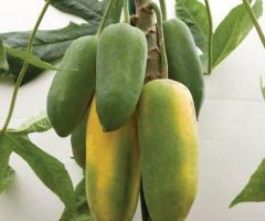 Arbol de babaco, plantas de la sierra de Ecuador