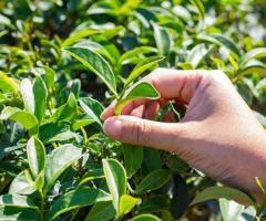Planta de té verde en Ecuador