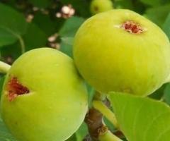 Plantas del higo blanco de fruta muy dulce arboles exoticos frutales para jardin patio o macetas